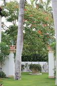 view [The Charles Residence]: This view, punctuated by the trunks of Royal Palms (Roystonea regia), reveals another room a small walled rose garden. Two columns at the entrance are topped with pots of Agave (Agave tequilana) and a large African Tulip tree (... digital asset: [The Charles Residence]: This view, punctuated by the trunks of Royal Palms (Roystonea regia), reveals another room a small walled rose garden. Two columns at the entrance are topped with pots of Agave (Agave tequilana) and a large African Tulip tree (Spathodea campanulata) in the background.