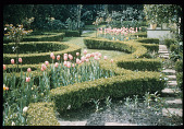view [Strachan Garden]: tulips in the formal rose garden; stepping stones. digital asset: [Strachan Garden]: tulips in the formal rose garden; stepping stones.: 1982 March 1