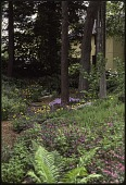 view [Uplands]: A woodland garden with meandering wood chip paths. digital asset: [Uplands]: A woodland garden with meandering wood chip paths.: 1985 June