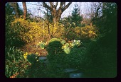 view [Garden of William and Nancy Calk]: back yard center, forsythia and daffodils. digital asset: [Garden of William and Nancy Calk]: back yard center, forsythia and daffodils.: 2001 Apr.