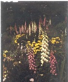 view [Bayside]: perennial bed with foxgloves, sundrops and pansies. digital asset: [Bayside] [transparency]: perennial bed with foxgloves, sundrops and pansies.