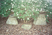 view [Traugott Bagge House]: stone at base of espaliered apple trees. digital asset: [Traugott Bagge House]: stone at base of espaliered apple trees.: 2003 Apr.