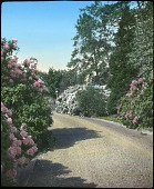 view [Llynnwyllann]: a paved driveway is flanked by flowering shrubs, trees, and garden lighting. digital asset: [Llynnwyllann] [lantern slide]: a paved driveway is flanked by flowering shrubs, trees, and garden lighting.