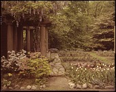 view [Moore Garden]: wisteria-covered pergola, tulips, azalea, and rose beds. digital asset: [Moore Garden] [slide]: wisteria-covered pergola, tulips, azalea, and rose beds.