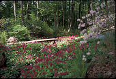 view [The Lewis Garden (NJ)]: primulas by the brook. digital asset: [The Lewis Garden (NJ)]: primulas by the brook.: 1999 May.