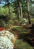 view [The Lewis Garden (NJ)]: path and rhododendrons. digital asset: [The Lewis Garden (NJ)]: path and rhododendrons.: 1999 May.