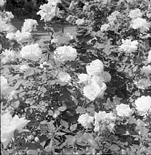 view [Avis Campbell Gardens]: roses in the gardens. digital asset: [Avis Campbell Gardens] [safety film negative]: roses in the gardens.