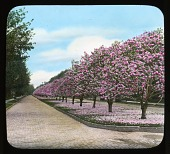 view Miscellaneous Sites in Rochester, New York: magnolias in bloom along Oxford Street. digital asset: Miscellaneous Sites in Rochester, New York [lantern slide]: magnolias in bloom along Oxford Street.
