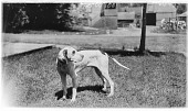 view [Miscellaneous Sites in the Adirondack Mountains]: a dog in the front yard of what is now 318 Ampersand Avenue (formerly 12 Ampersand Avenue) in the village of Saranac Lake. digital asset: [Miscellaneous Sites in the Adirondack Mountains] [glass negative]: a dog in the front yard of what is now 318 Ampersand Avenue (formerly 12 Ampersand Avenue) in the village of Saranac Lake.