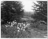 view [Kenneth D. Smith Gardens]: bluestone path wandering among lily plantings and hemlocks. digital asset: [Kenneth D. Smith Gardens] [photoprint]: bluestone path wandering among lily plantings and hemlocks.