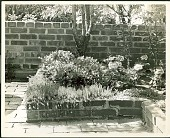 view [Unidentified Garden in New York, New York, No. 2]: sedum and geraniums in raised bed. digital asset: [Unidentified Garden in New York, New York, No. 2] [photonegative and photoprint]: sedum and geraniums in raised bed.