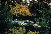 view [River High]: fall color, featuring chrysanthemums 'Molfetta' and 'Lisa', a Kwanzan cherry, and Clethra alnifolia 'Ruby Spice'. digital asset: [River High]: fall color, featuring chrysanthemums 'Molfetta' and 'Lisa', a Kwanzan cherry, and Clethra alnifolia 'Ruby Spice'.: 2006 Oct.
