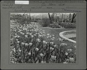 view [Breeze Hill]: flower bed of tulips next to a pond with a house in background. digital asset: [Breeze Hill] [photographic print]: flower bed of tulips next to a pond with a house in background.