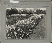 view [Breeze Hill]: two flower beds of tulips with houses in background. digital asset: [Breeze Hill] [photographic print]: two flower beds of tulips with houses in background.