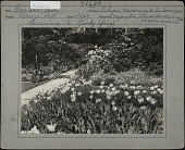 view [Breeze Hill]: flower bed of tulips with stone walkway and forget-me-nots in background. digital asset: [Breeze Hill] [photographic print]: flower bed of tulips with stone walkway and forget-me-nots in background.