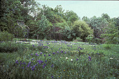 view [Frog Pond]: metal arbor at left of white and purple iris-filled meadow bordered by trees. digital asset: [Frog Pond]: metal arbor at left of white and purple iris-filled meadow bordered by trees.: 2002 Jun.