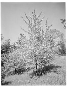 view [Miscellaneous Trees, Shrubs and Plants]: Pyrus zumi. digital asset: [Miscellaneous Trees, Shrubs and Plants] [glass negative]: Pyrus zumi.