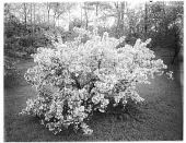 view [Miscellaneous Trees, Shrubs and Plants]: Pyrus x arnoldiana. digital asset: [Miscellaneous Trees, Shrubs and Plants] [glass negative]: Pyrus x arnoldiana.