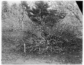 view [Miscellaneous Trees, Shrubs and Plants]: Prunus tomentosa or Nanking cherry. digital asset: [Miscellaneous Trees, Shrubs and Plants] [glass negative]: Prunus tomentosa or Nanking cherry.