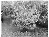 view [Miscellaneous Trees, Shrubs and Plants]: possibly a Malus x arnoldiana or Arnold crabapple. digital asset: [Miscellaneous Trees, Shrubs and Plants] [glass negative]: possibly a Malus x arnoldiana or Arnold crabapple.
