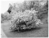 view [Miscellaneous Trees, Shrubs and Plants]: Malus x arnoldiana or Arnold crabapple. digital asset: [Miscellaneous Trees, Shrubs and Plants] [glass negative]: Malus x arnoldiana.
