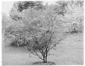 view [Miscellaneous Trees, Shrubs and Plants]: an unspecified variety of Pyrus or pear. digital asset: [Miscellaneous Trees, Shrubs and Plants] [glass negative]: an unspecified variety of Pyrus or pear.