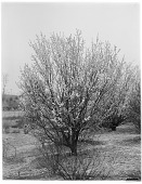 view [Miscellaneous Trees, Shrubs and Plants]: Prunus cerasifera, commonly known as the cherry plum or Myrobalan plum. digital asset: [Miscellaneous Trees, Shrubs and Plants] [glass negative]: Prunus cerasifera, commonly known as the cherry plum or Myrobalan plum.