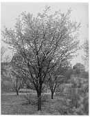 view [Miscellaneous Trees, Shrubs and Plants]: Prunus pseudocerasus, or Chinese fruiting cherry, in the Arnold Arboretum. digital asset: [Miscellaneous Trees, Shrubs and Plants] [glass negative]: Prunus pseudocerasus, or Chinese fruiting cherry, in the Arnold Arboretum.