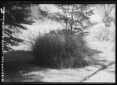 view [Miscellaneous Trees, Shrubs and Plants]: Miscanthus sinensis 'Gracillimus', commonly known as Maiden Grass. digital asset: [Miscellaneous Trees, Shrubs and Plants] [glass negative]: Miscanthus sinensis 'Gracillimus', commonly known as Maiden Grass.
