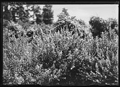 view [Miscellaneous Trees, Shrubs and Plants]: Spiraea salicifolia var. bethlehemensis, commonly known as willowleaf meadowsweet. digital asset: [Miscellaneous Trees, Shrubs and Plants] [glass negative]: Spiraea salicifolia var. bethlehemensis, commonly known as willowleaf meadowsweet.