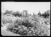 view [Miscellaneous Trees, Shrubs and Plants]: Byttneriaceae occidentalis. digital asset: [Miscellaneous Trees, Shrubs and Plants] [glass negative]: Byttneriaceae occidentalis.