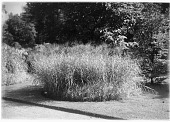view [Miscellaneous Trees, Shrubs and Plants]: Miscanthus sinensis 'Zebrinus', commonly called Zebra grass. digital asset: [Miscellaneous Trees, Shrubs and Plants] [glass negative]: Miscanthus sinensis 'Zebrinus', commonly called Zebra grass.
