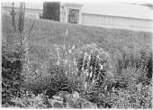 view [Miscellaneous Trees, Shrubs and Plants]: foxgloves and other perennials in the Harvard Botanical Garden, with the garden's greenhouse in the background. digital asset: [Miscellaneous Trees, Shrubs and Plants] [glass negative]: foxgloves and other perennials in the Harvard Botanical Garden, with the garden's greenhouse in the background.