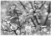 view [Miscellaneous Trees, Shrubs and Plants]: camellia blossoms. digital asset: [Miscellaneous Trees, Shrubs and Plants] [glass negative]: camellia blossoms.