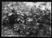 view [Miscellaneous Trees, Shrubs and Plants]: Ceratostigma plumbaginoides, commonly called plumbago. digital asset: [Miscellaneous Trees, Shrubs and Plants] [glass negative]: Ceratostigma plumbaginoides, commonly called plumbago.