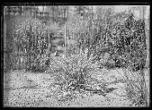view [Miscellaneous Trees, Shrubs and Plants]: Spiraea thunbergii, commonly called spirea. digital asset: [Miscellaneous Trees, Shrubs and Plants] [glass negative]: Spiraea thunbergii, commonly called spirea.