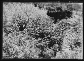 view [Miscellaneous Trees, Shrubs and Plants]: Spiraea japonica 'Bumalda', commonly called Japanese spirea. digital asset: [Miscellaneous Trees, Shrubs and Plants] [glass negative]: Spiraea japonica 'Bumalda', commonly called Japanese spirea.