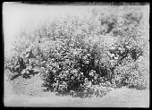 view [Miscellaneous Trees, Shrubs and Plants]: Spiraea japonica, commonly called Japanese spirea or Japanese meadowsweet. digital asset: [Miscellaneous Trees, Shrubs and Plants] [glass negative]: Spiraea japonica, commonly called Japanese spirea or Japanese meadowsweet.