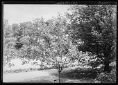 view [Miscellaneous Trees, Shrubs and Plants]: an unidentified flowering tree. digital asset: [Miscellaneous Trees, Shrubs and Plants] [glass negative]: an unidentified flowering tree.