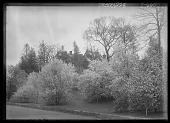view [Miscellaneous Trees, Shrubs and Plants]: Malus baccata var. oblonga, commonly called Siberian crabapple, and Malus prunifolia, commonly called plumleaf or pearleaf crabapple, in the Arnold Arboretum, with the Bussey Institution building in the backgro... digital asset: [Miscellaneous Trees, Shrubs and Plants] [glass negative]: Malus baccata var. oblonga, commonly called Siberian crabapple, and Malus prunifolia, commonly called plumleaf or pearleaf crabapple, in the Arnold Arboretum, with the Bussey Institution building in the background.