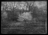 view [Miscellaneous Trees, Shrubs and Plants]: Prunus cerasus, commonly called sour or tart cherry, beside a pond. digital asset: [Miscellaneous Trees, Shrubs and Plants] [glass negative]: Prunus cerasus, commonly called sour or tart cherry, beside a pond.