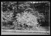 view [Miscellaneous Trees, Shrubs and Plants]: probably Malus x robusta, commonly called Siberian crabapple. digital asset: [Miscellaneous Trees, Shrubs and Plants] [glass negative]: probably Malus x robusta, commonly called Siberian crabapple.