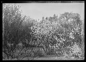 view [Miscellaneous Trees, Shrubs and Plants]: Prunus maritima, commonly called beach plum. digital asset: [Miscellaneous Trees, Shrubs and Plants] [glass negative]: Prunus maritima, commonly called beach plum.