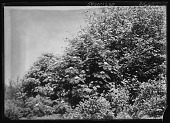 view [Miscellaneous Trees, Shrubs and Plants]: Sorbus americana, also known as Pyrus americana, and commonly called American mountain-ash. digital asset: [Miscellaneous Trees, Shrubs and Plants] [glass negative]: Sorbus americana, also known as Pyrus americana, and commonly called American mountain-ash.