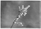 view [Miscellaneous Trees, Shrubs and Plants]: a sprig of Spiraea x arguta, commonly called garland spirea or bridal wreath. digital asset: [Miscellaneous Trees, Shrubs and Plants] [glass negative]: a sprig of Spiraea x arguta, commonly called garland spirea or bridal wreath.