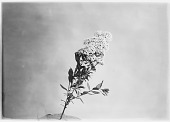 view [Miscellaneous Trees, Shrubs and Plants]: a sprig of Spiraea media, commonly called spirea. digital asset: [Miscellaneous Trees, Shrubs and Plants] [glass negative]: a sprig of Spiraea media, commonly called spirea.