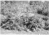 view [Miscellaneous Trees, Shrubs and Plants] [glass negative]: Pseudosasa japonica, also known as Arundinaria japonica, and commonly called arrow bamboo and Japanese arrow bamboo. digital asset: [Miscellaneous Trees, Shrubs and Plants] [glass negative]: Pseudosasa japonica, also known as Arundinaria japonica, and commonly called arrow bamboo and Japanese arrow bamboo.