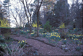 view [Lothrop Garden]: woodland garden path with early blooming bulbs. digital asset: [Lothrop Garden]: woodland garden path with early blooming bulbs.: 2001 Mar.