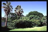 view [Steves Garden]: back lawn with palms. digital asset: [Steves Garden]: back lawn with palms.: 1995 Jul.