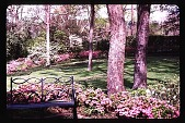 view [Dogwoods]: facing west from the terrace: the azalea-bordered lawn area and blooming dogwood tree under native trees. digital asset: [Dogwoods]: facing west from the terrace: the azalea-bordered lawn area and blooming dogwood tree under native trees.: 1980.